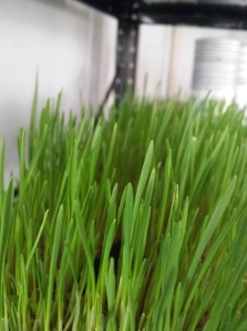 Organic Wheat Green's Wheat Grass owned by Jon Faulconer at 23 year's old!